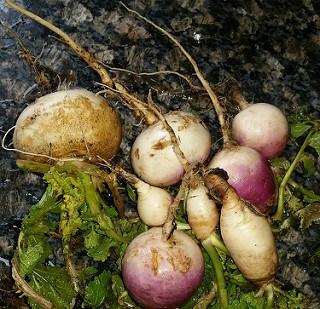 Overwintering Root Veggies