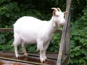 Google Renting Goats