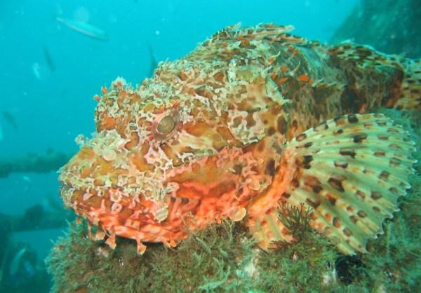 The Scorpionfish