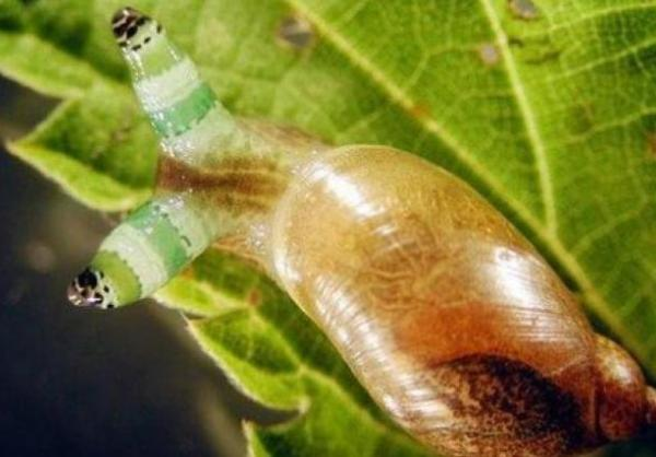 The Eye-Inflating Flatworm