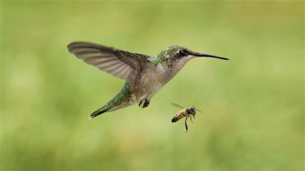 The Bee hummingbird - Top 10 Smallest Birds in the world