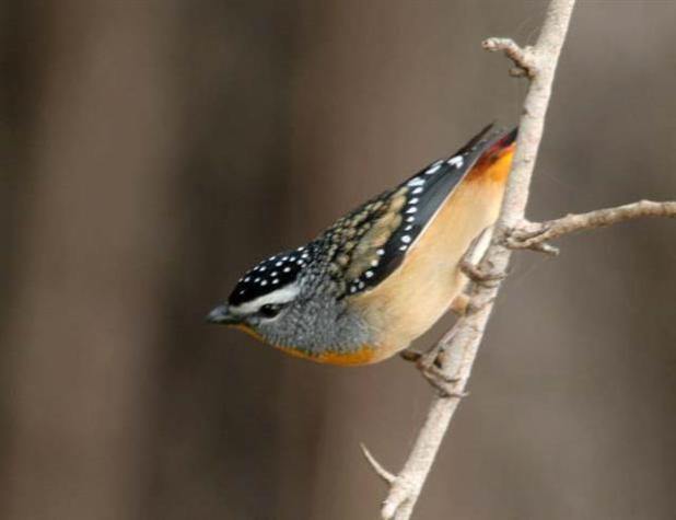 The Pardalote