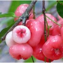 Amazing health benefits of Rose Apple fruit