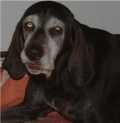 Our beloved Tara, German Shorthaired Pointer