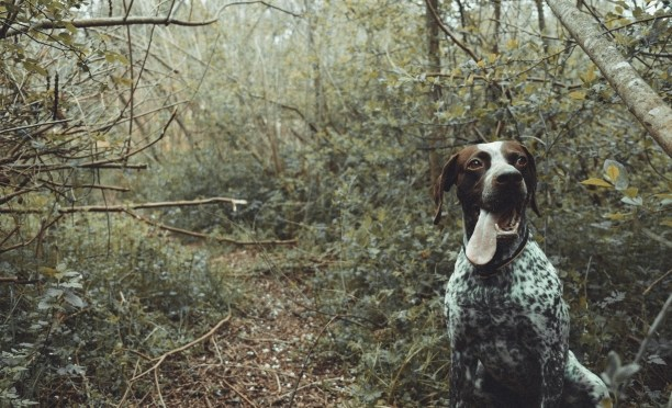 Haiku-San, German Pointer Dog, #Haiku #Sunday #HaikuSan via @PatFurstenberg