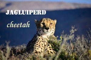 Jagluiperd - lazy horse - cheetah
