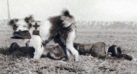 A Red Cross dog taking a kepi from a wounded soldier back to the stretcher-bearer for identification of the wounded, The Great War