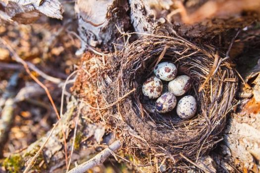 Maroons Autumn's chocolates. Chocolate speckled eggs in a nest in forest.
