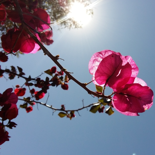 pink bougainvillea in the gleaming sun