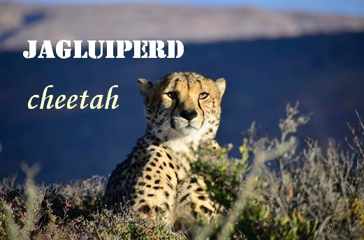 Cheetah, in Afrikaans is Jagluiperd,   Direct translation: Hunting lazy horse