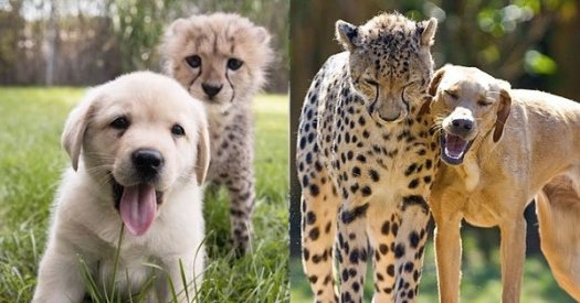 cheetah and dog can become friends - when cheetah first cried, a story