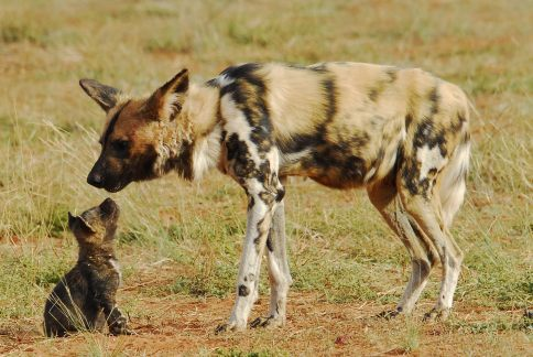 Why Wild Dogs Hunt Impalas Zebras, an African atmospheric  tale - wild dog and pup