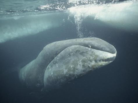 Bowhead whale (Balaena mysticetus) (Picture: WWF).