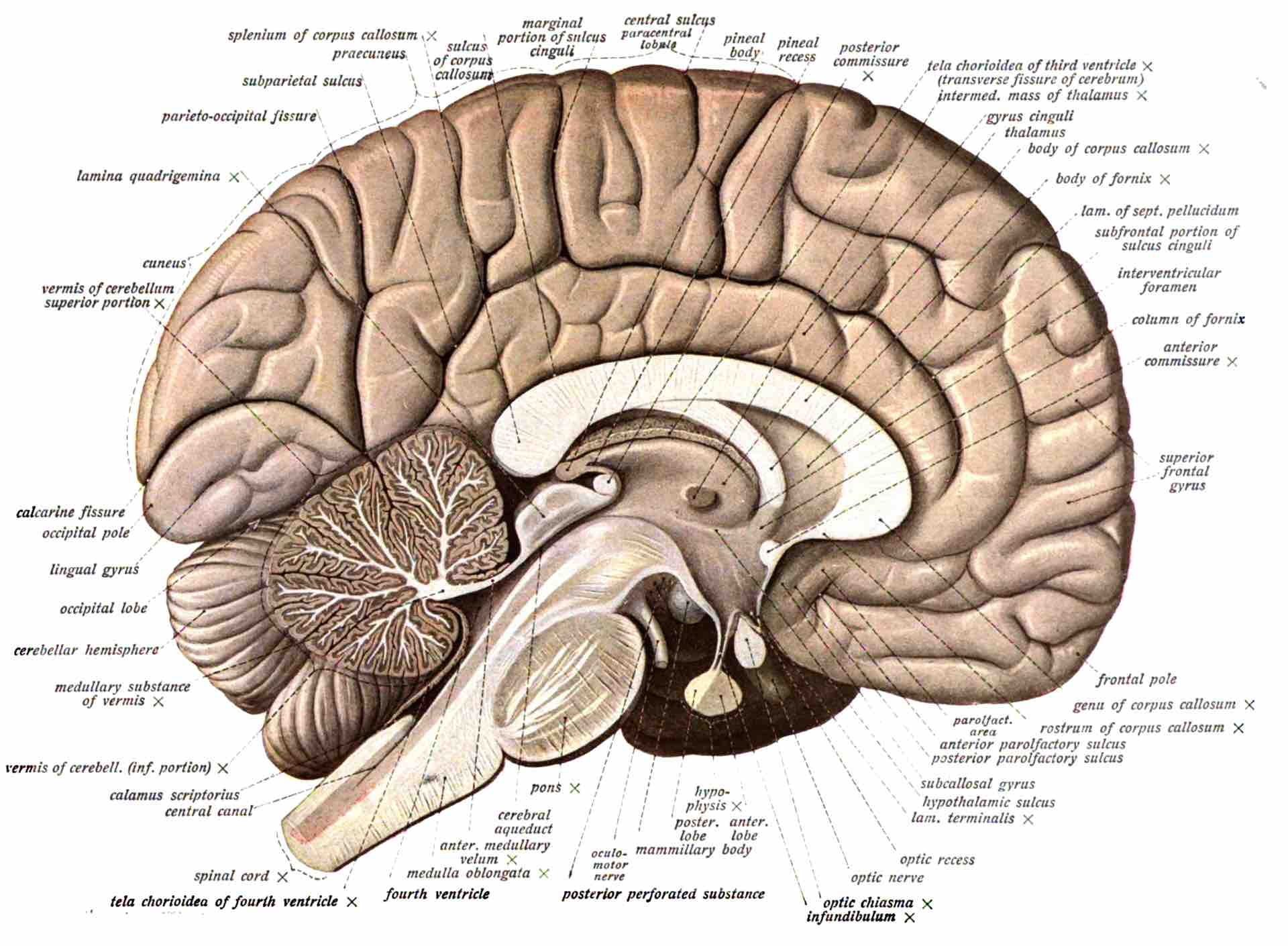 Image of a brain with legend