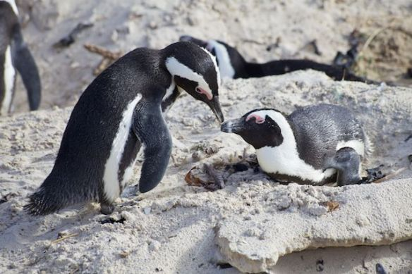 African penguins, Boulders Beach, Simon's Town, South Africa.  (c) Allyson Scott