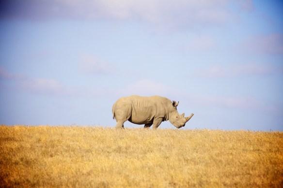 Adult female white rhino  (c) Allyson Scott