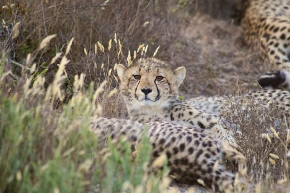 Juvenile cheetah  (c) Allyson Scott