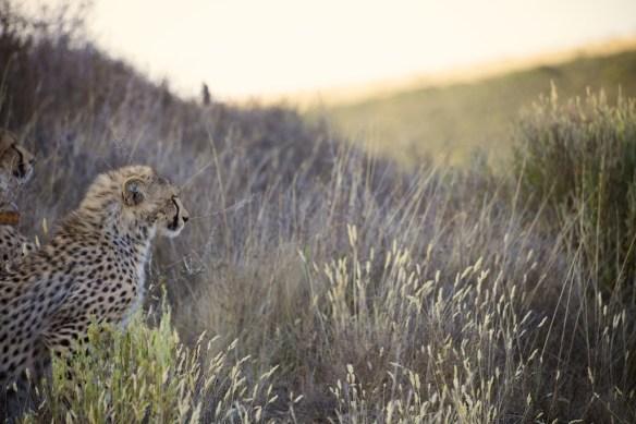 Young cheetah  (c) Allyson Scott