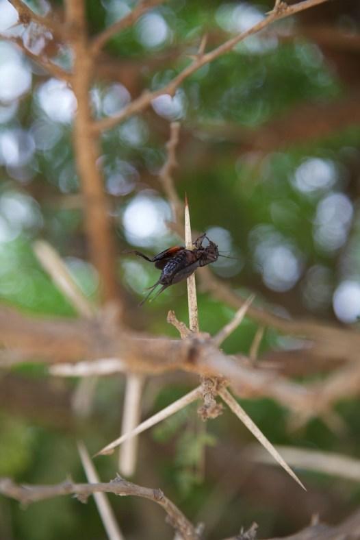 Cricket impaled on acacia thorn  (c) Allyson Scott