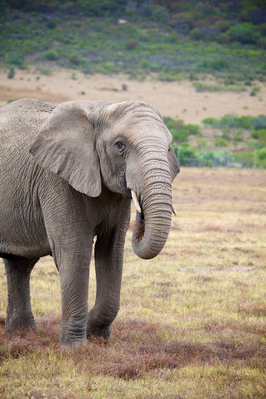 African elephant  (c) Allyson Scott