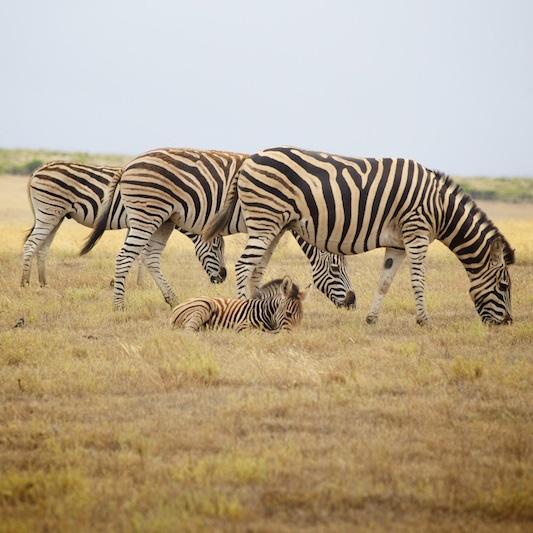 Zebras with foal  (c) Allyson Scott