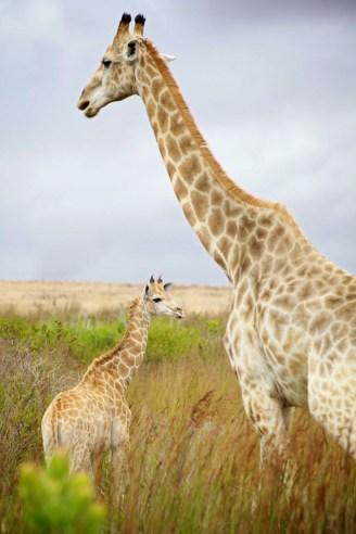 Giraffe father and son