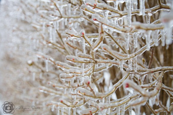 Branches coated in ice