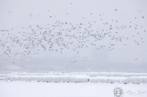 Seagulls flying over frozen breakwater on Lake Ontario, Toronto