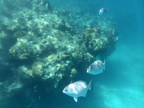 Tropical fish and coral reef, Jibacoa