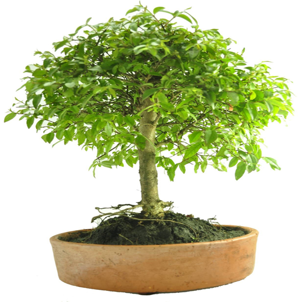 Bonsai Guayacán