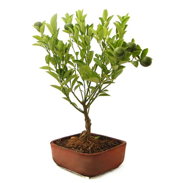 Bonsai Naranjo