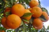 """مشاورات واسعة بين خبراء أمريكيين ومغاربة لرفع """"الحظر"""" على البرتقال المغربي"""