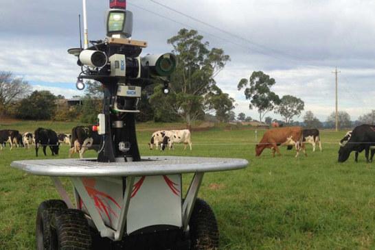 الاستعانة بالروبوت لقيادة قطعان الماشية بأستراليا