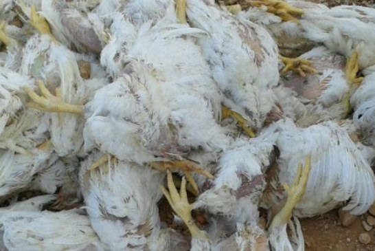 بيع دجاج نافق بمدخل سوق الجملة بالدار البيضاء