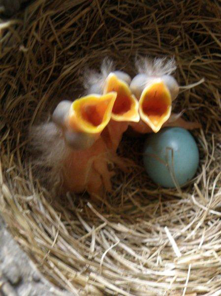 Three baby robins in a nest, with open mouths waiting for food.  Source: http://clarksilerfamily.blogspot.com/2016/06/born-into-family.html.