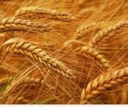 نقابة الفلاحين: أسعار توريد القمح جيدة والحكومة لم تتوقف عن استلام المحصول