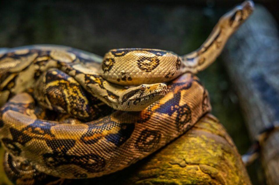 Qué hacer si mi serpiente no come