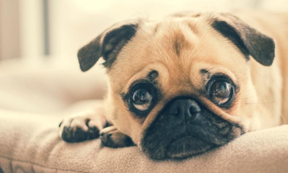 enseñar a tu perro a quedarse solo sin ansiedad es posible
