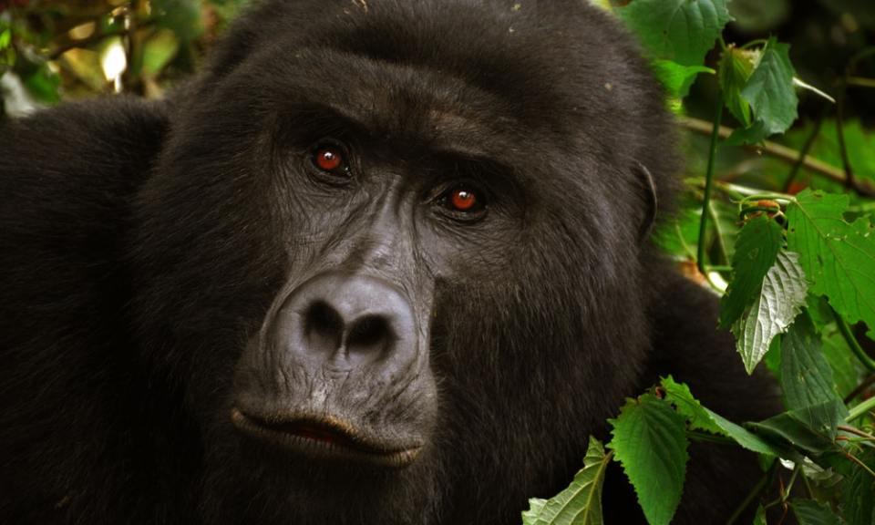 gorila, uno de los animales en peligro de extinción