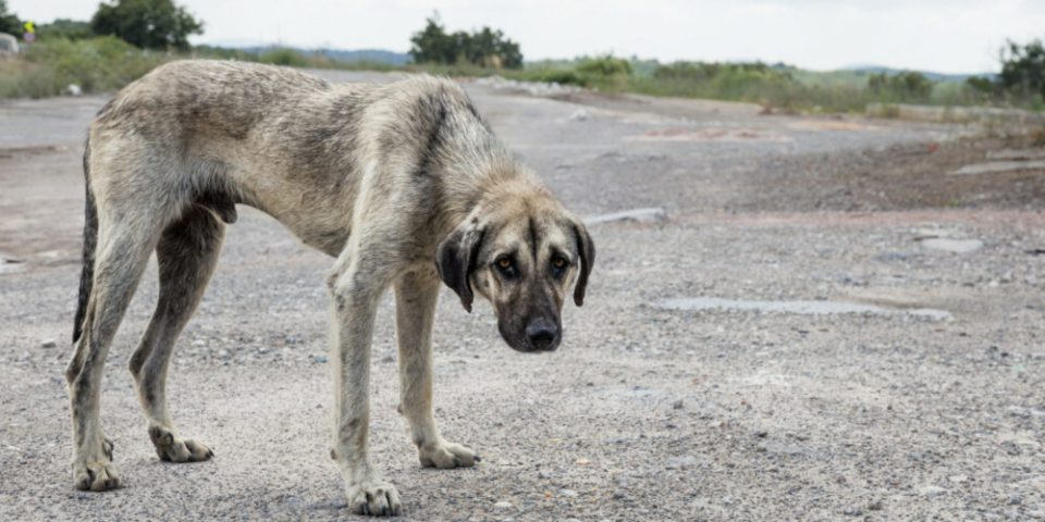 Cómo adoptar un perro maltratado