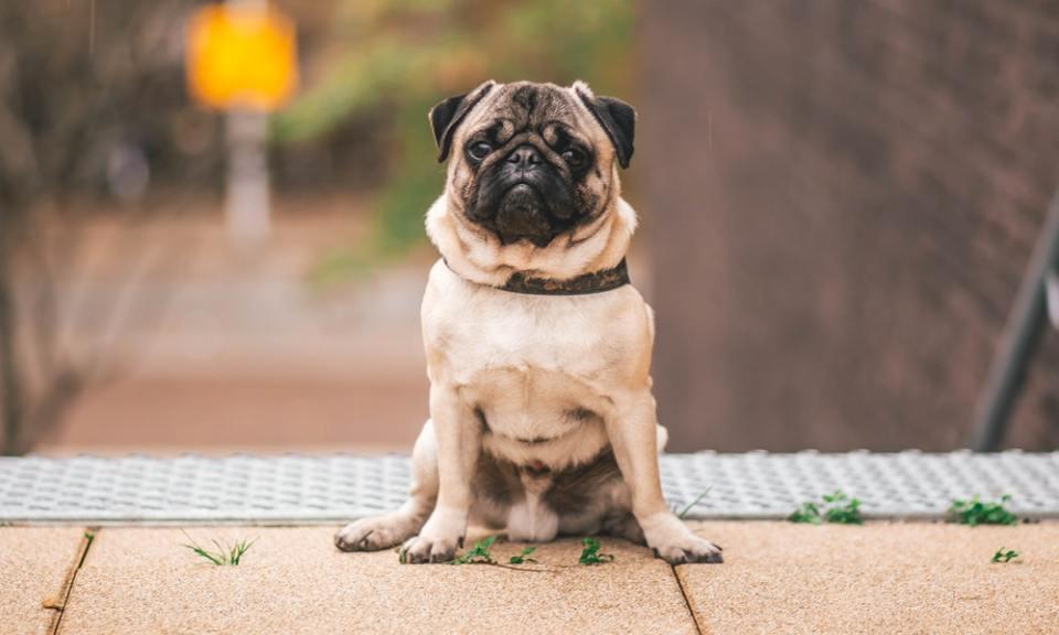 pasos a seguir para enseñar a tu perro a sentarse