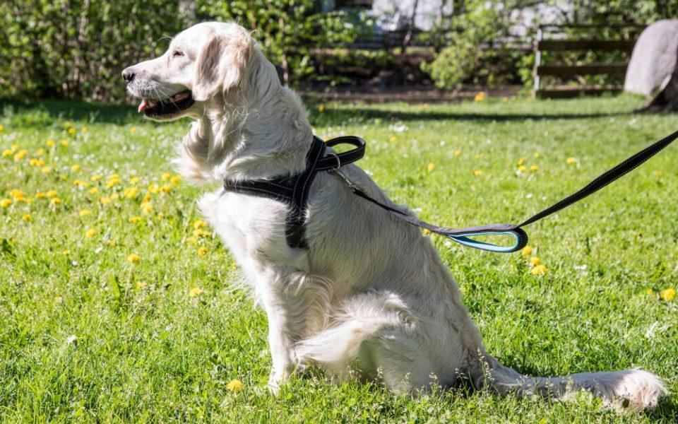cómo elegir el tipo de arnés adecuado para cada perro