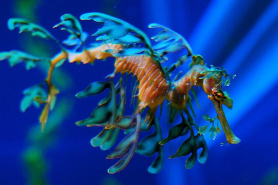 Dragón de mar foliáceo, uno de los animales que dominan el arte de mimetismo