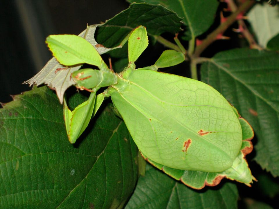 insecto hoja gigante