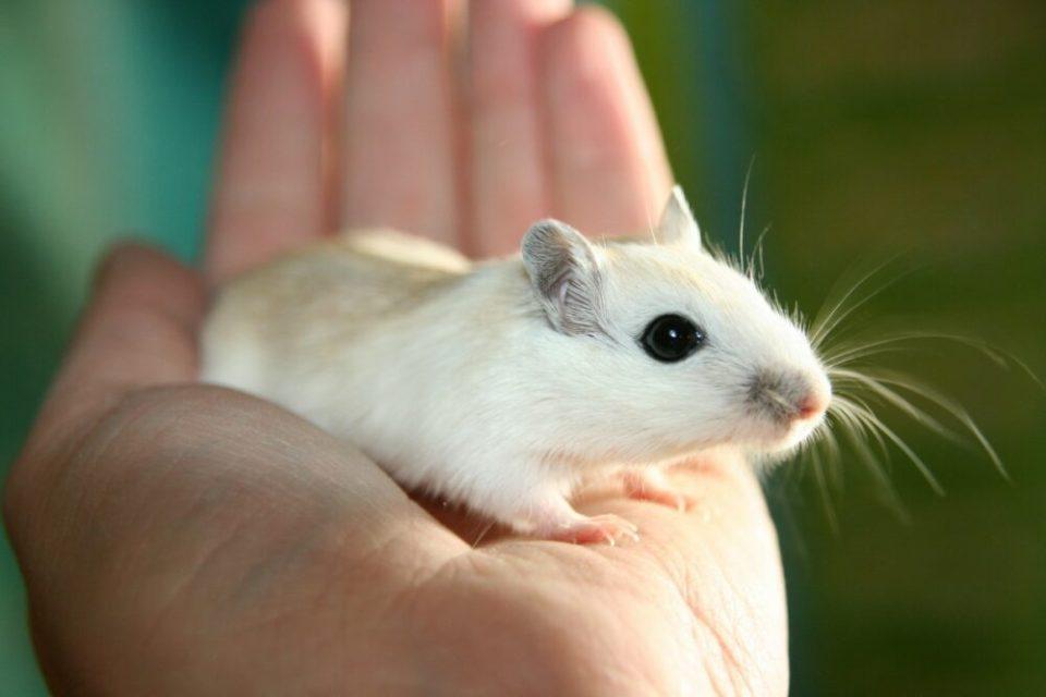 los ratones y hamsters son mascotas peligrosas para niños