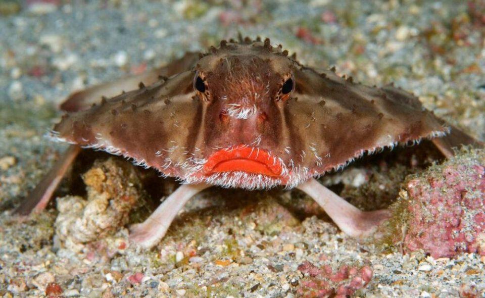 Pez murciélago de labios rojos, uno de los animales más raros del mundo