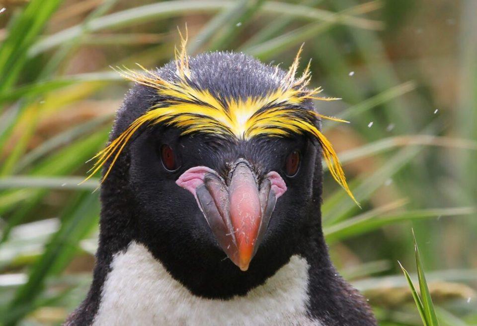 curiosidades sobre los pinguinos macaroni
