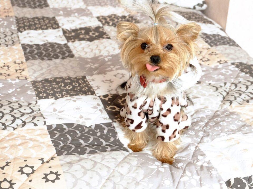 yorkshire terrier, un compañero de piso ideal