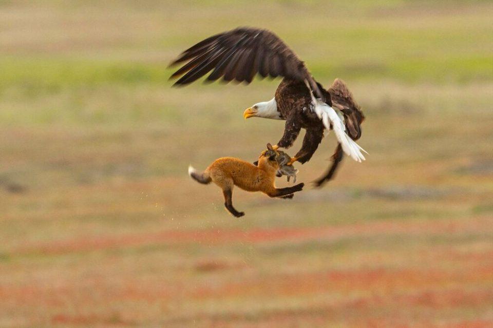 Águila, el pájaro más fuerte del mundo
