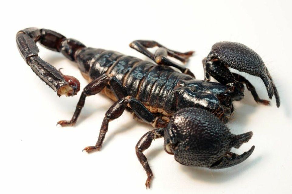 Tener un escorpión en casa